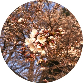 Cherry Blossoms: Cross-Cultural Floral Phenomenon